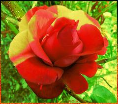 Rose en  HDR...