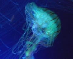 Cosmos aquatique