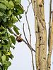 Tight Maneuver - Cedar Waxwing