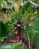 Seychelles : la palma del cocò de mer con i suoi frutti - impiegano 7 anni per arrivare a maturazione con 25 chili di peso