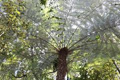 1T0A0950  New Zealand Silver tree fern pip