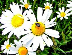 Fly on a Daisy.