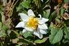 Ethiopia, Bahir Dar, Bee on Dahlia