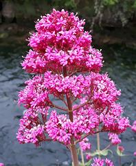 ValérianeValériane rouge (Centranthus ruber) ou valériane des jardins...