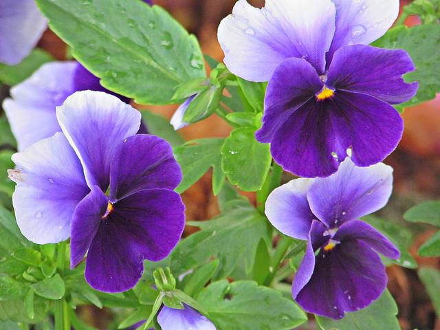 Perfectly Purple Pansies