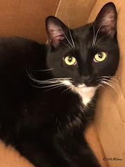 Max the tuxedo cat