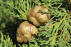 Cyprès méditerranéen ou cyprès d'Italie = Cupressus sempervirens, Vaison-la-Romaine, Vaucluse (France)