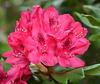 Pour un bon lundi...Rhododendron...