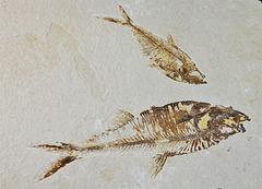 poissons fossilisés du Tertiaire marocain
