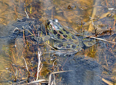 frog and spawn city park DSC 8940