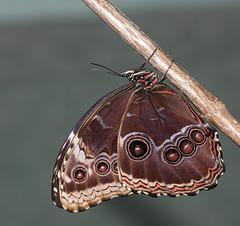 The Blue Morpho butterfly (Morpho peleides)