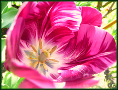 **Tulipe du jardin **