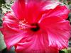 Hibiscus ...............!  première photo de l'année !