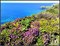 Heather and gorse; the coast path above Greenbank Cove, North Cliffs, Cornwall. For Pam.