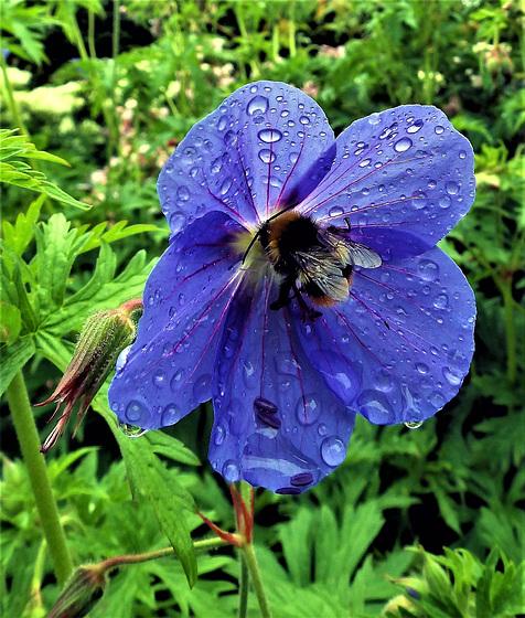 Geranium and Bee.