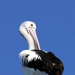 March Pelican