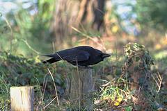 EOS 6D Peter Harriman 10 48 00 03189 Crow dpp hdr