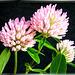 Klee (Trifolium) ©UdoSm