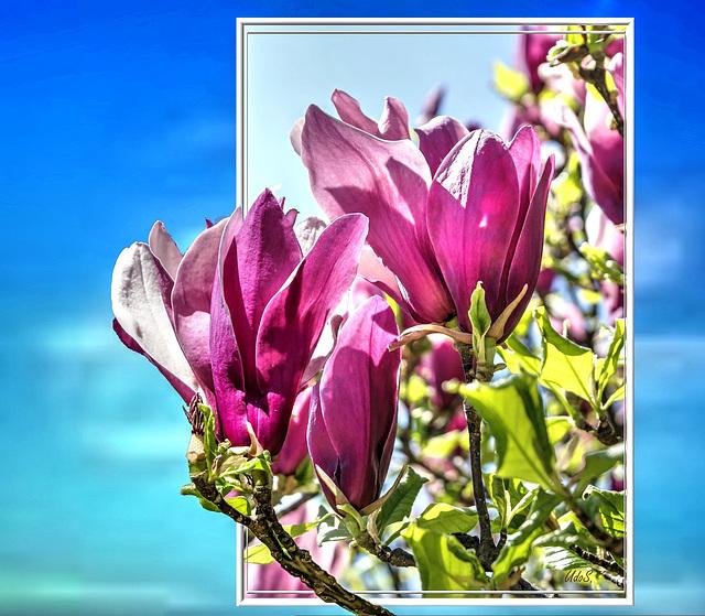 Purpur-Magnolie (Magnolia liliiflora) ©UdoSm