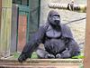 Hiératique, gorille du Parc zoologique de Saint-Martin-la-Plaine (Loire, France)