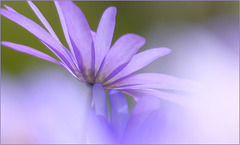 Blauwe anemoon, Blue anemone (Anemone apennina)...