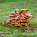 Fungi on tree stump (1)