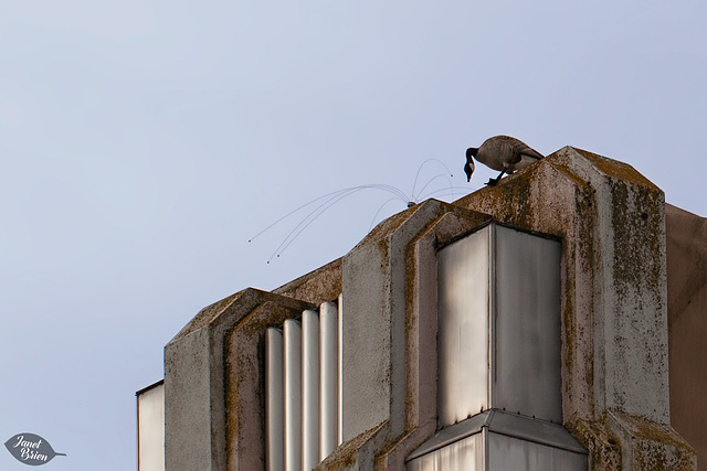 330/366: Canada Goose on Harry & David Building