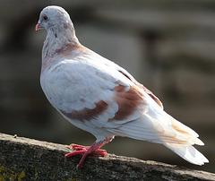 EOS 6D Peter Harriman 11 38 14 03381 Pigeon dpp