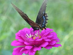 Schmetterling -1
