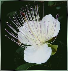 Blüte des Kaperstrauches. (Capparis spinosa)  ©UdoSm