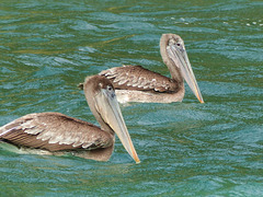 Brown Pelicans / Pelecanus occidentalis, Blue Waters Inn, Tobago