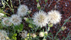 native daisy seed heads