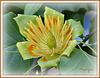 Tulipier de Virginie