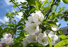 Malus pumila blossom
