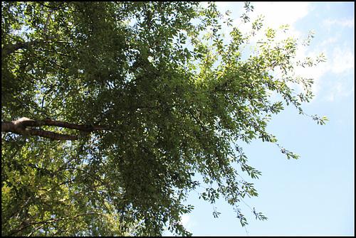 Prunus avium (1)