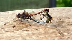 Libellen - Paarungsrad