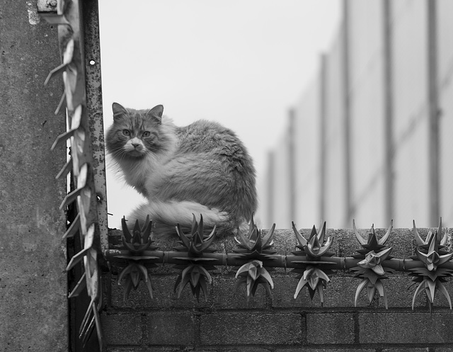 Cat on a Peace Wall