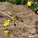 Ononis viscosa, Fabaceae
