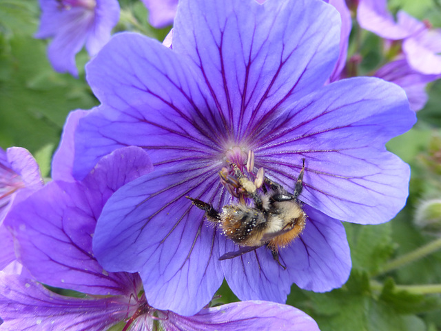 Geranium with a busy bee