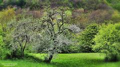 Alberi in fiore in Val Taro - Flowering trees in Taro valley