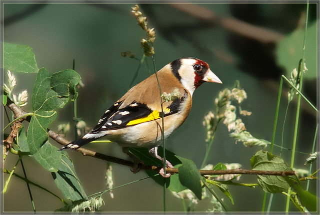 Portrait Goldfinch