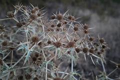 Eryngium campestre, Apiaceae