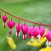 Coeurs à cueillir