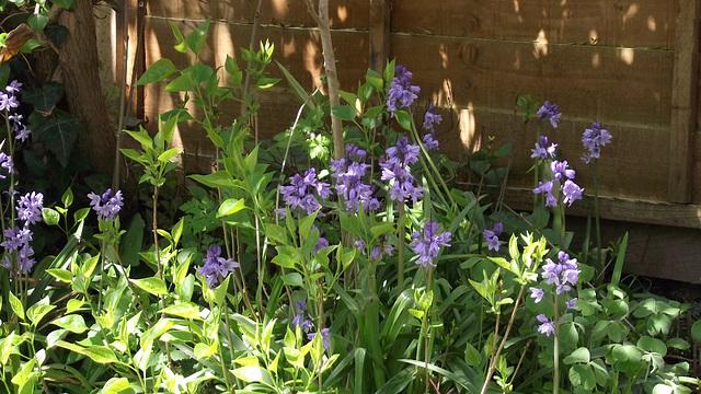 Bluebells still flowering