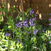 Bluebells still flowering