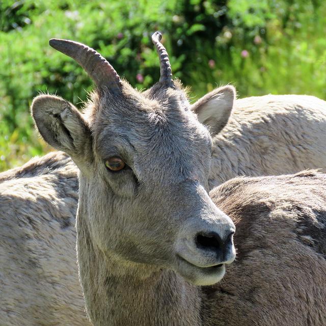 Bighorn Sheep, Kananaskis