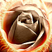 Hot Chocolate Rose