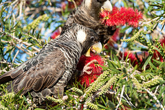 Blasck Cockatoo