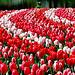 Tulips! ~ Keukenhof