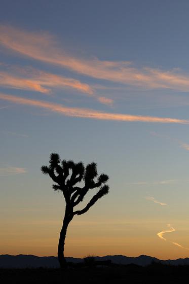 Joshua Tree and Sunrise